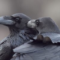 Imagen ganadora de la categoría de aves de España en el concurso de fotografía de SEO/Birdlife. 'Hermanos Corax'. Foto: Juan José Navarro del Alar.