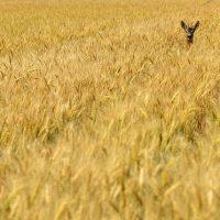 Un cervatillo en una campo de cereal.