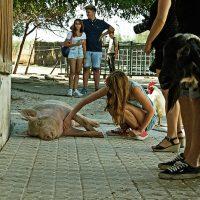 El cerdo Barbosa en el santuario