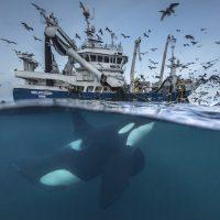 Repartiendo la captura  Audun Rikardsen, Noruega  Fotoperiodista de Naturaleza, Imagen única Unidos por un apetito comartido hacia el arenque, las ballenas y los pescadores tienen una relación única. Los pescaores siguen a individuos como esta orca para encontrar a los peces y a su vez las orcas buscan a los barcos de pesca, tras haber aprendido a asociar el sonido de las redes de pesca con una comida gratis. Audrum ha querido mostrar esta relación desde ambas perspectivas en esta espectacular imagen en dos niveles.  En un principio parece una relación beneficiosa para todos, pero puede ser perjudicial para las orcas. A veces tratan de robar el pescado, enredándose en las redes con posibles consecuencias fatales. Los pescadores están tan preocupados por la frecuencia con la que esto está sucediendo que están buscando soluciones.
