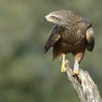 El milano nergro utiliza trozos de plástico para advertir a otras aves. F. Sergio.