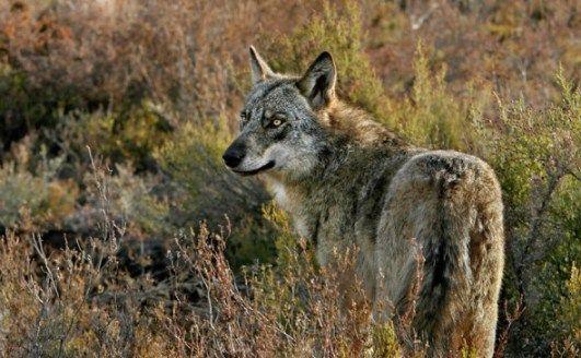 Lobo ibérico adulto en la Sierra de la Culebra (Zamora), fotografiado una fría mañana de invierno por Andoni Canela.