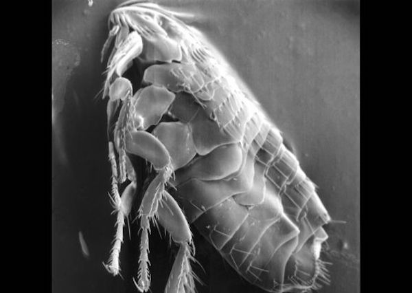 Una pulga vista al microscopio. Foto. Creative Commons.
