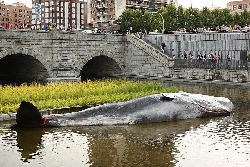 El cachalote que apareció en el río Manzanares.