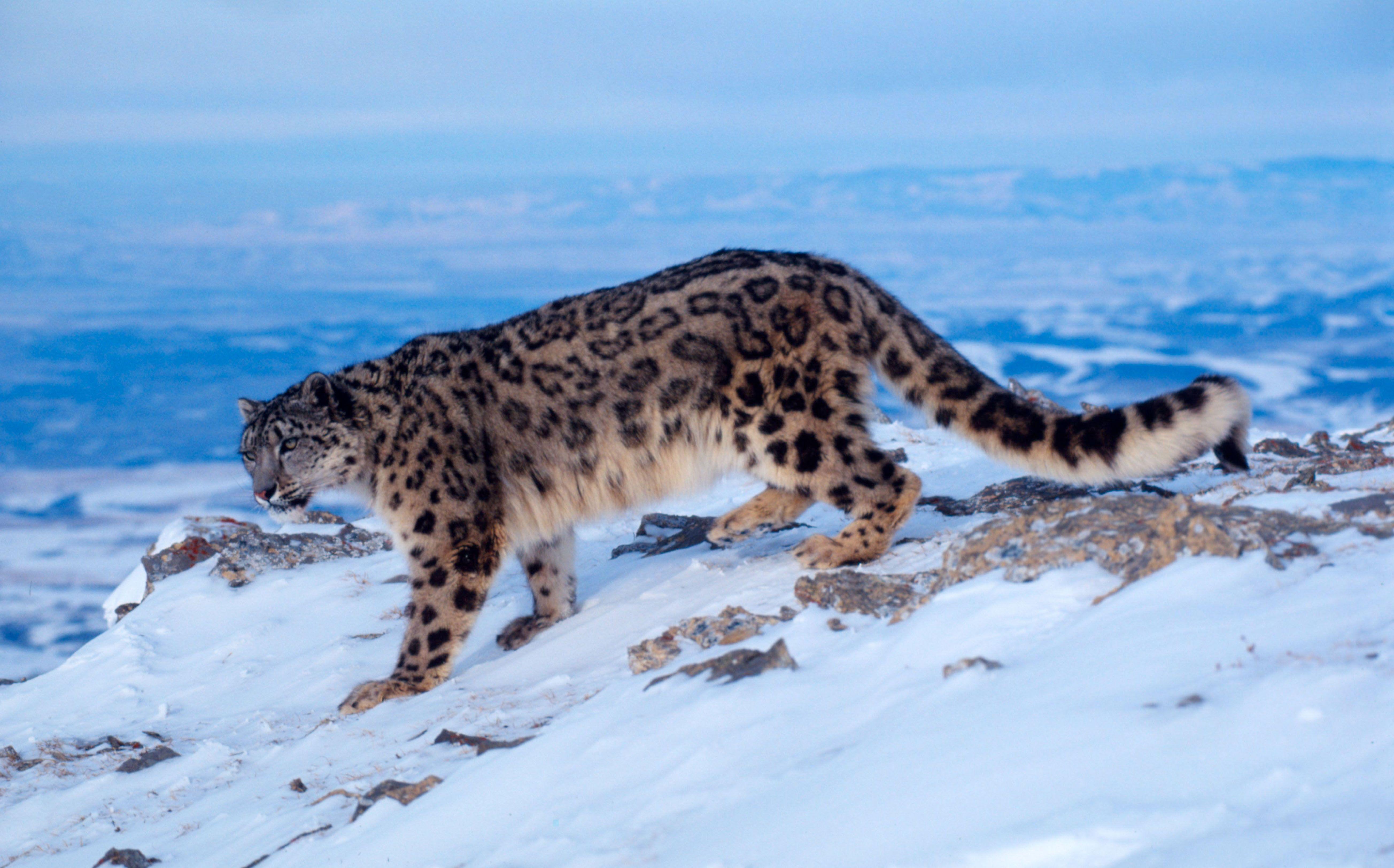 Un leopardo de las nieves en invierno. Foto: Klein & Hubert / WWF